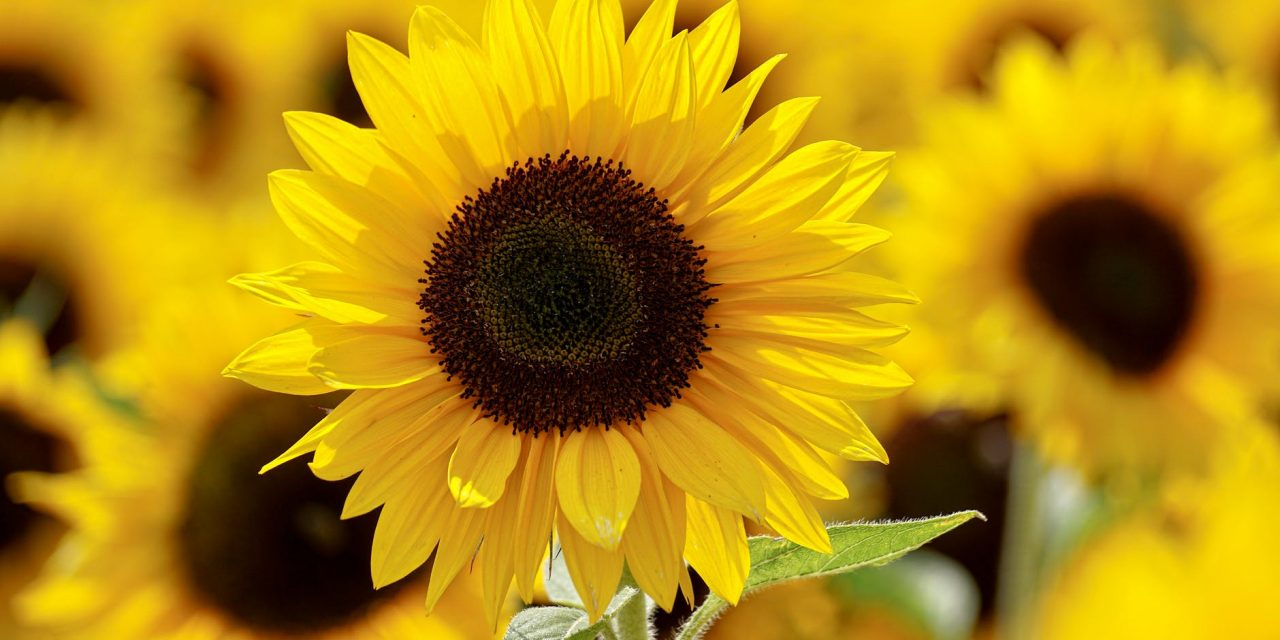 Enjoy the Kansas Sunflowers and College Financial Aid Programs